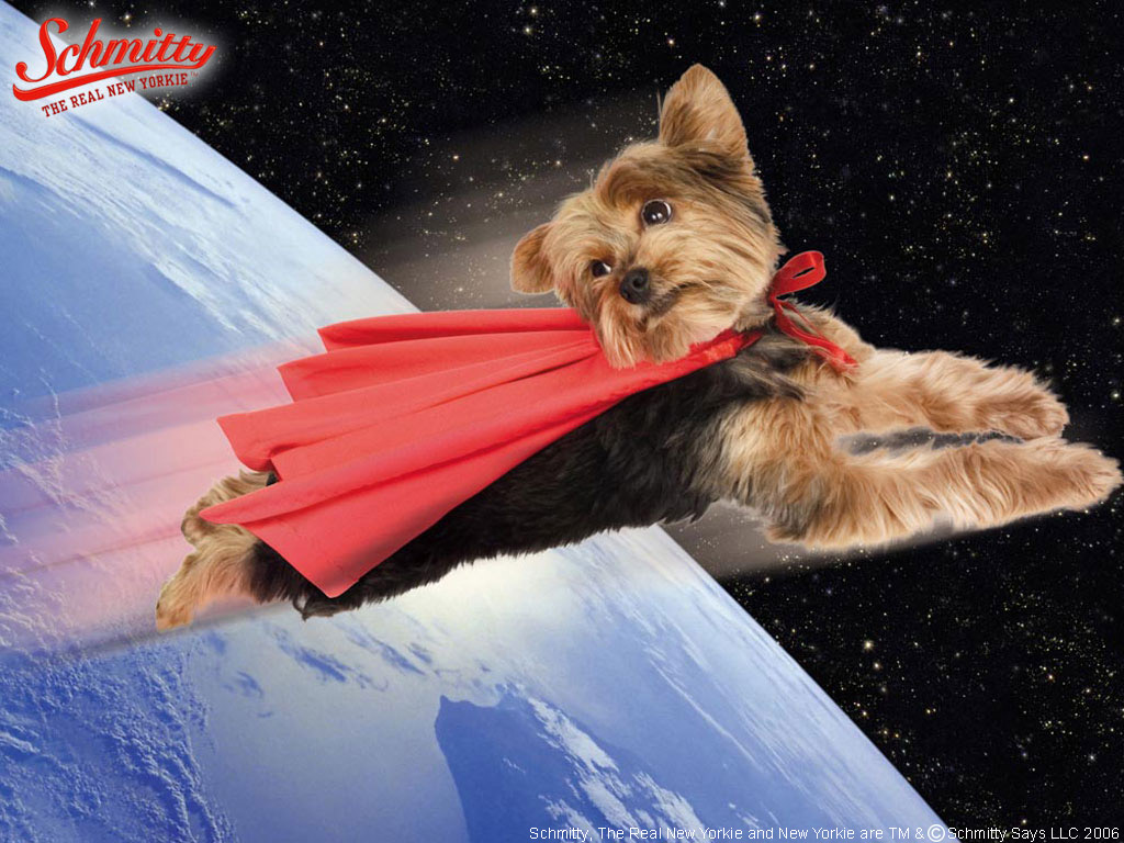 Schmitty Wallpaper - Online Shopping mall for Yorkshire Terrier Pictures